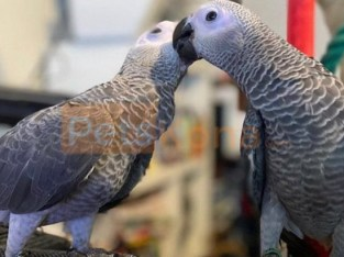 African Gray parrot. .whatsapp me at: +447418348600