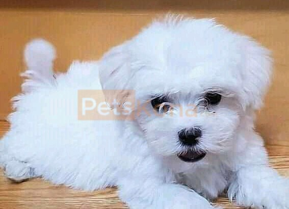 Young baby Maltese Puppies available for adoption