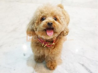 Pretty Poodle puppies for sale