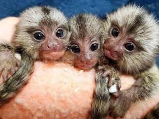 Finger Marmoset Monkeys