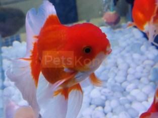 thai oranda goldfish