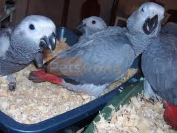 African grey Male and female .