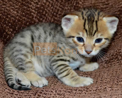 Bengal kittens available for new homes