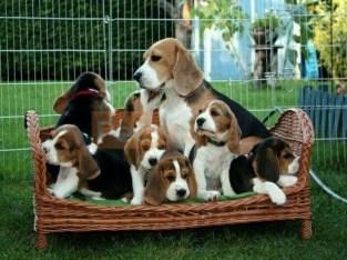 Beautiful, Beagle