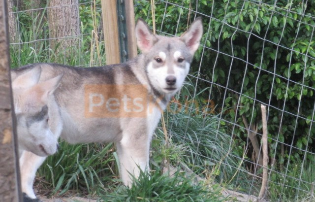 wolfhybrid for sale