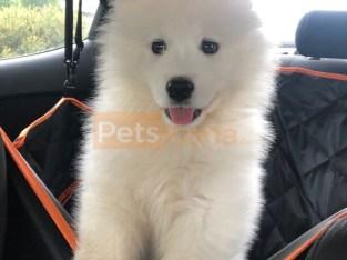 AKC registered Samoyed Puppie