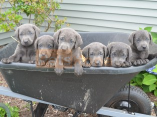 Silver Labrador Retriever Puppies