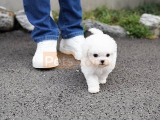 Pure White Bichon Frise puppies for sale