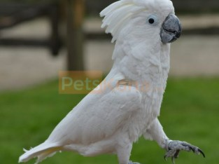 Umbrella cockatoo for sale