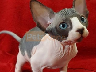 Sphinx Kittens for Sale
