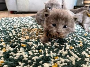Russian blue kitten available