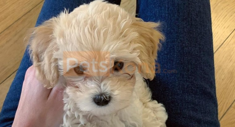 12 week old Maltipoo puppy