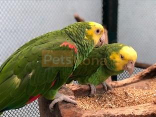 Yello heard amazon breeders pairs