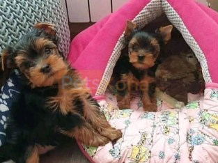 Adorable Male and Female Tiny Teacup Yorkie puppies for sale