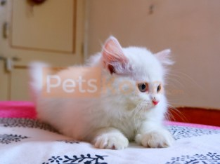 Persian Kitten White