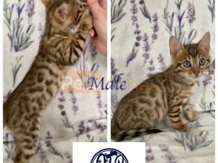Lovable Bengal kittens