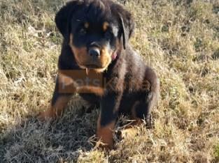 Adorable German Rottweiler pups for sale