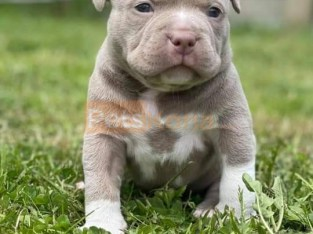Gorgeous male pocketbully puppy