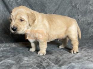 Super Best Golden Retriever Pups Ready Now.