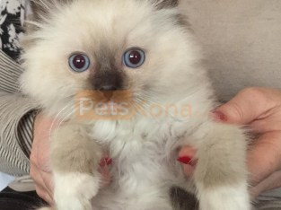 Ragdoll Kittens kids