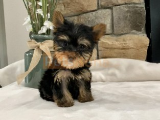 Lovely T Cup Yorkie Pups For Good Homes.