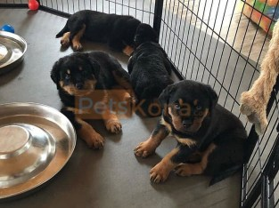 RO.TTWE.ILER PUPPIES FOR RE-HOMING NEAR ME Contact Us