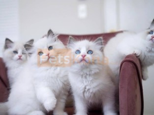 lovely cute white ragdoll kittens for adoption
