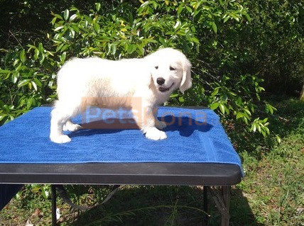 Awesome Golden Retriever puppies for new home.
