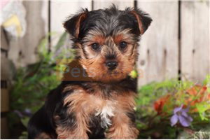 yorkies puppies for sale whatsapp me on +1 (832) 356-3887