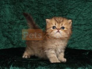 SWEET Persian kittens