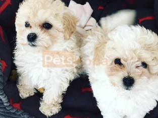 Outstanding Maltipoo puppies ready and available for sale.