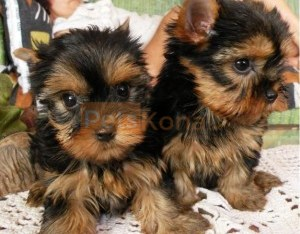 AKC registered yorkshire terrier puppies for your homes