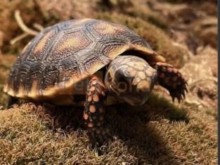 Red feet Turtoise
