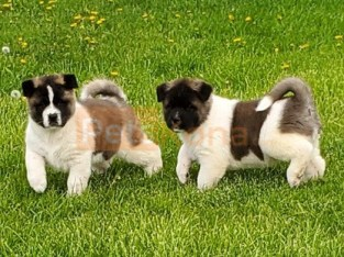 """Babochka (Russian for """"butterfly"""") Kc registered/ champion bloodlines Akita Puppies For A Lovely Home."""