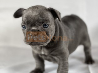Cara (Italian) Kc registered/ champion bloodlines French Bulldogs Puppies For A Lovely Home.