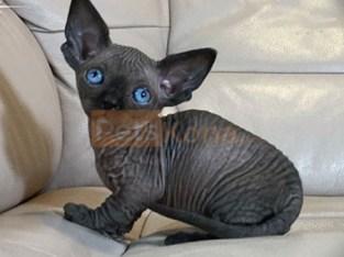 Hairless Sphynx Kittens available