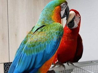 Blue ,Gold and Red Macaw Parrots Available