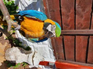 kbxfgjfg Male And Female Blue And Gold Macaw For Homes