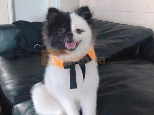 Outstanding Pomeranian Puppies For Rehoming