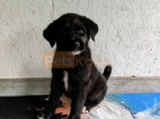 Amazing Labrador retriever puppies for adoption