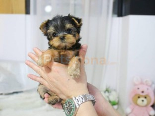 Female and Male Potty Yorkshire Terrier puppies for sale near me