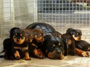 Beautiful litter of six Rottweiler puppies ready now