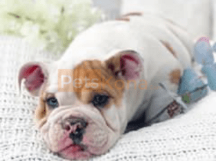 English bulldogs for sale +12706817826