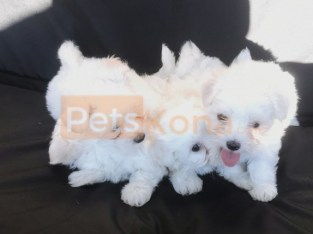 Pure Maltese Puppies