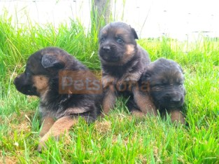 3 CUTE REGISTERED GERMAN SHEPARD PUPPIES FOR SALE.