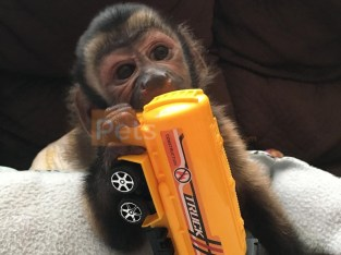 Adorable capuchin monkey for sale