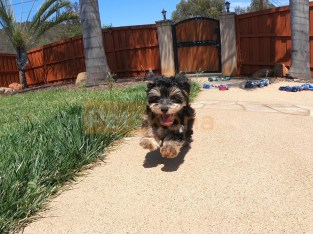 3 purebred Yorkshire terrier puppies for sale