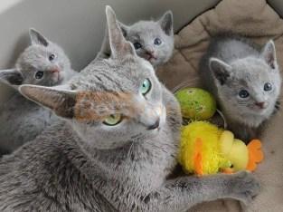 hypoallergenic russian blue kittens