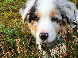 efficient Aussie Australian Shepherd Puppies
