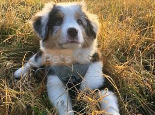 relaxed Aussie Australian Shepherd Puppies